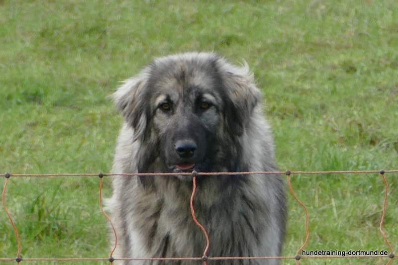 Der Herdenschutzhund bewacht die Schafe